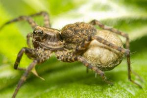Close-up of a wolf-spider carrying eggs.