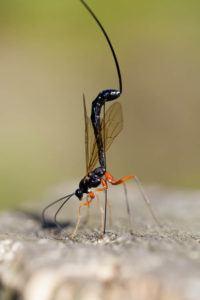 Wood wasp isolated macro.