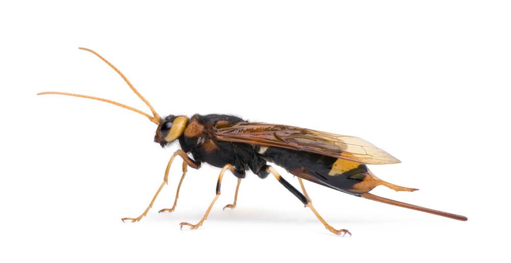 Wood wasp isolated on white background.