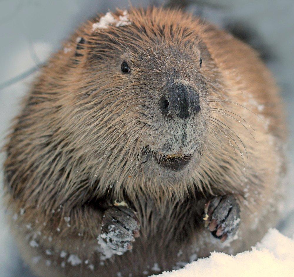 Close-up of a beaver.