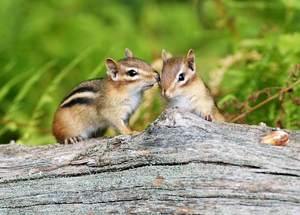 Two cute little baby chipmunk siblings sitting on a fallen tree.