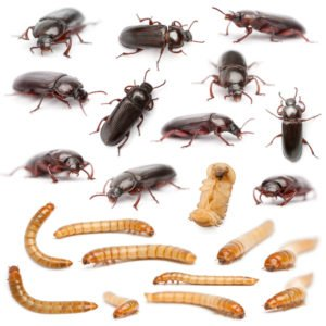 Darkling beetle life cycle on the white.