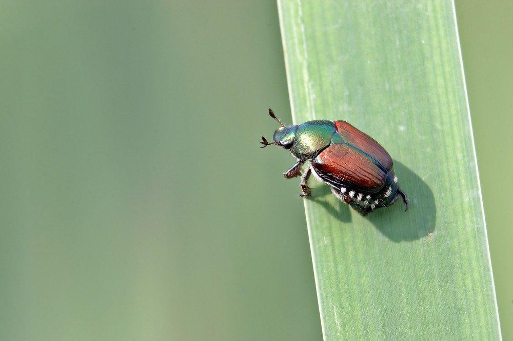 Japanese beetle on green leaf.