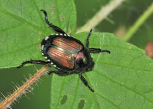 Japanese beetle on plant leaf with damage.