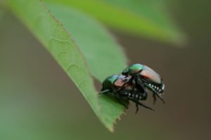 Macro of mating Japanese beetles.