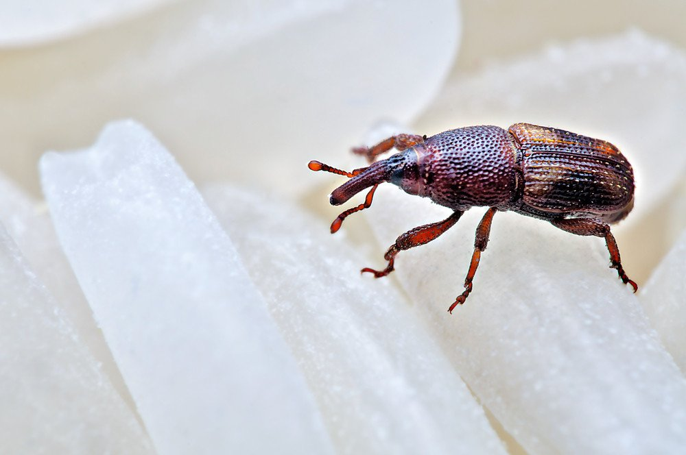 Rice Weevil: 5 Fun Facts & How to Get Rid of Them - Pest Wiki