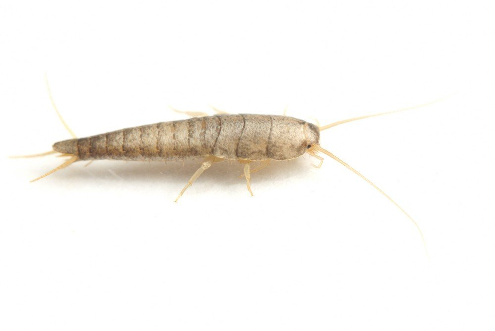 Silverfish isolated on the white.