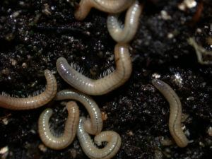 Baby millipedes on the ground.