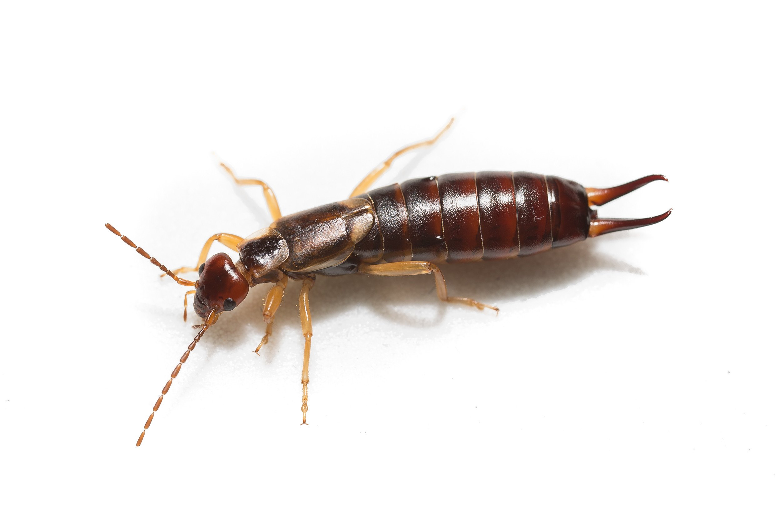 How To Get Rid Of Earwigs 8 Effective