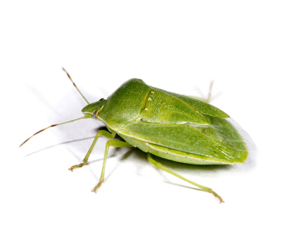 Green Stink Bug: Interesting Facts, Damage & How to Get Rid