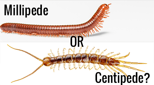 """Millipede and centipede with words """"Millipede OR Centipede?"""" on the white."""