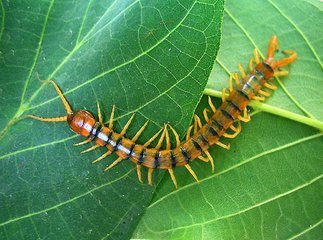 14 Types of Centipedes: Facts, Photos, Information - Pest Wiki
