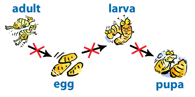 bug growth diagram what do flea eggs look like and then what do i do!? - pestwiki #1