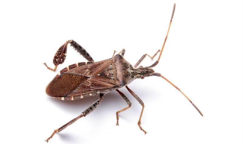 kissing bugs in florida