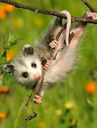 adorable possum baby