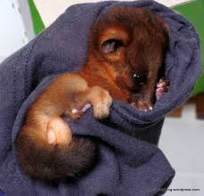 ringtail possum baby