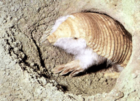 pink fairy armadillo behaviour