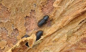 Redhaired pine bark beetle