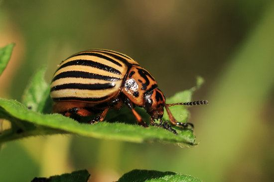 Dermestid Beetles Everything You Need To Know About These