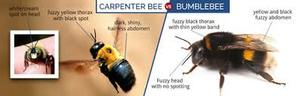 carpenter bees vs bumblebees