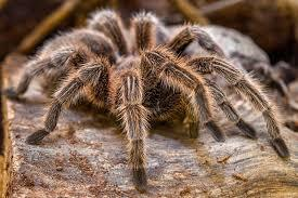 Curlу Haired Tarantula
