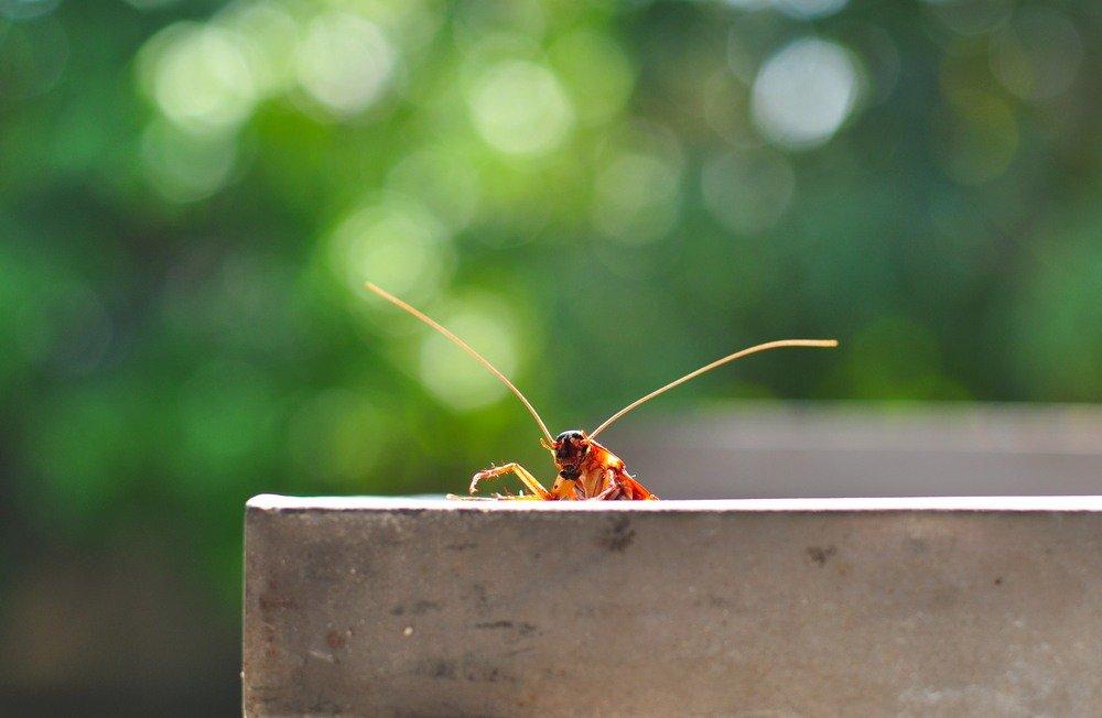 Brownbanded Cockroach
