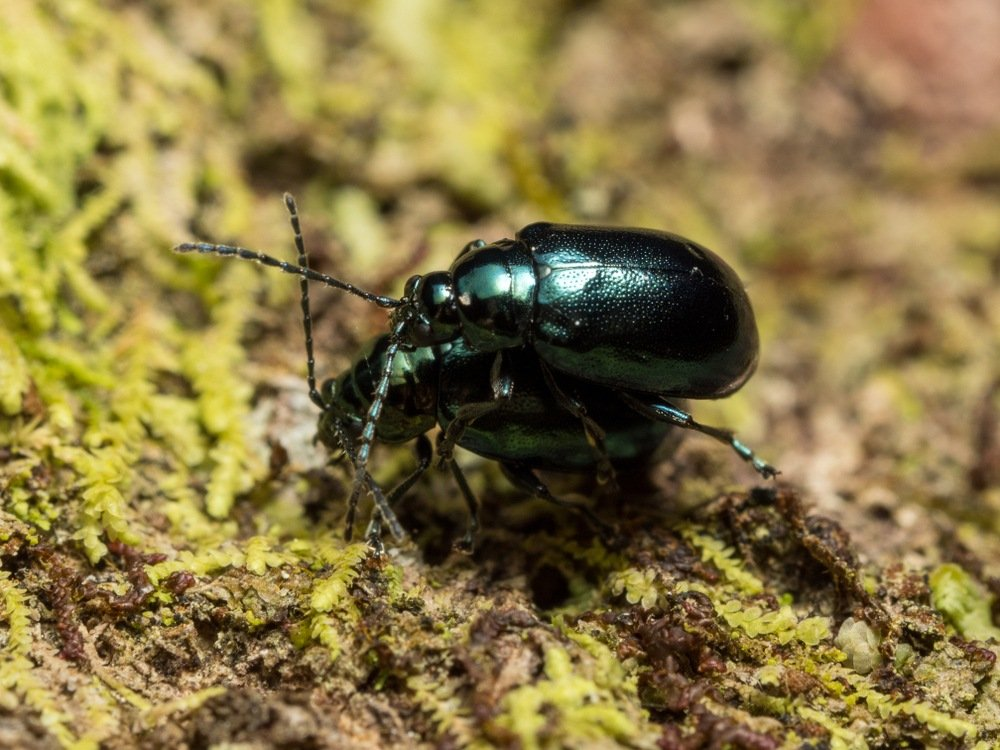 Flea Beetles Everything You Need To Know About This Tiny