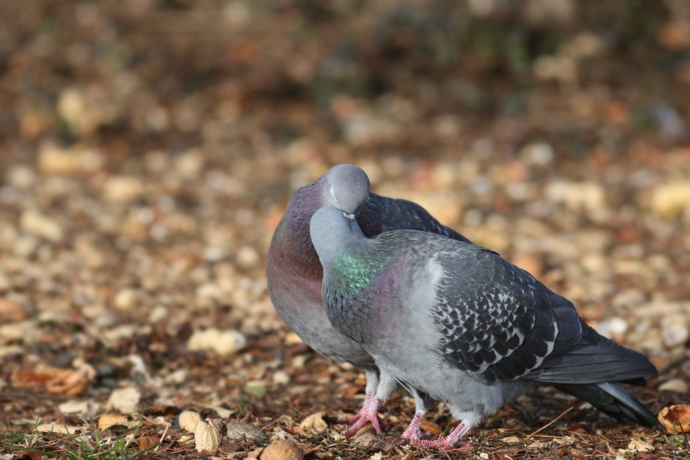pigeon mating