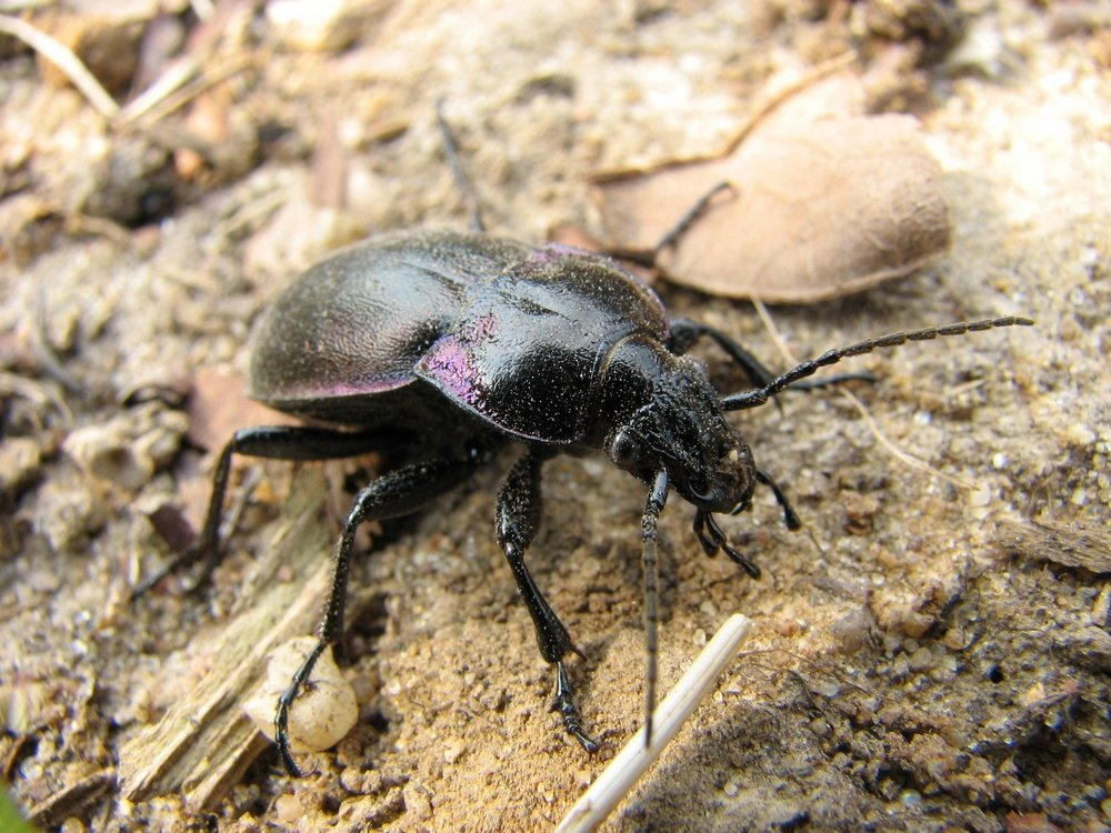 Black Beetles: Facts, Harms, Causes and Safety Measures