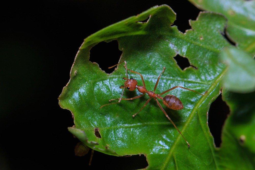 eafcutter ant destroy