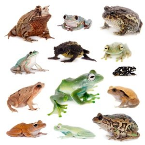 kinds of frogs