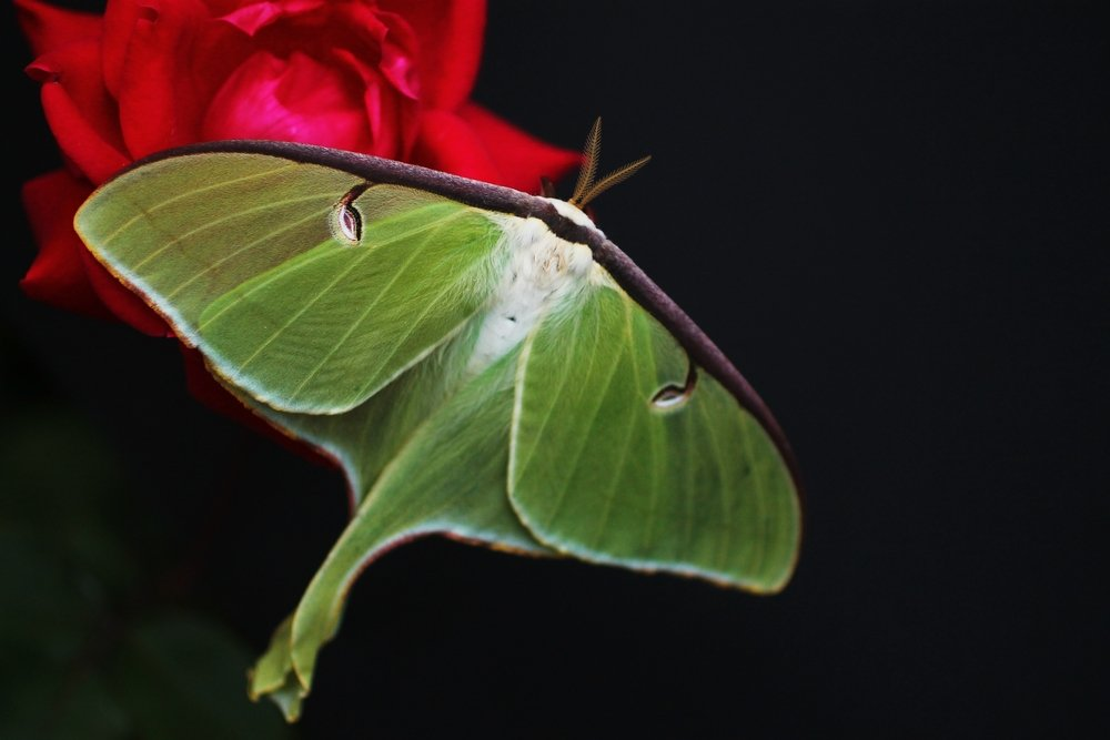 Luna Moth Caterpillar Funny Facts About Them Pestwiki