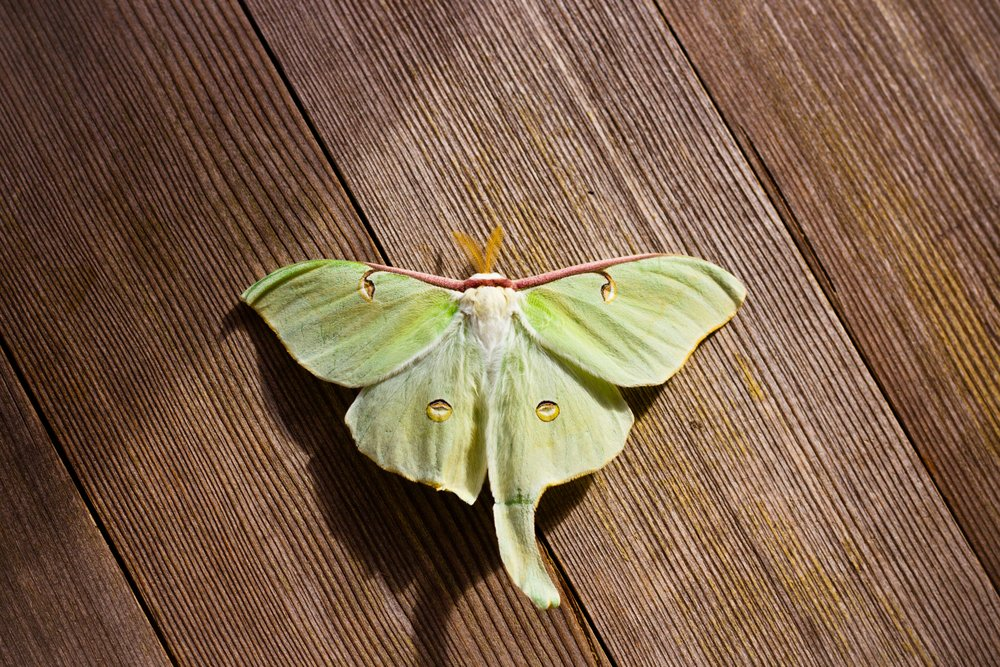 Adult Luna Moths