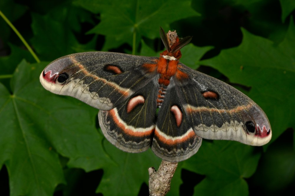 Moth Life Cycle – 4 Life Stages of a Moth (2018) - Pest Wiki