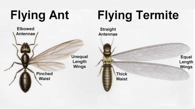 flying ants and termite wing difference