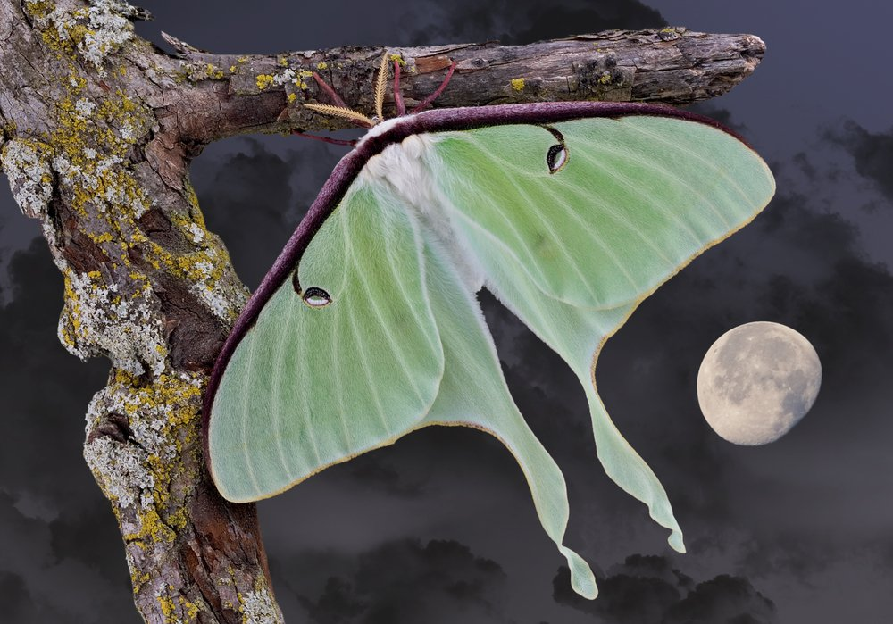 Luna Moths Live