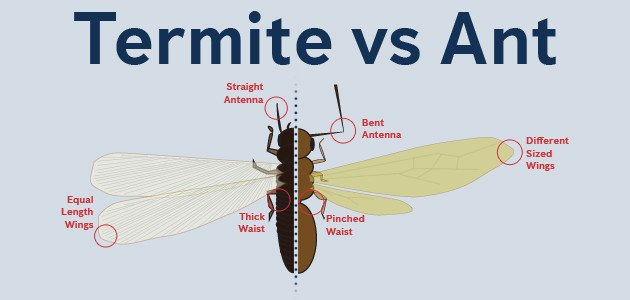flying ants and termite difference