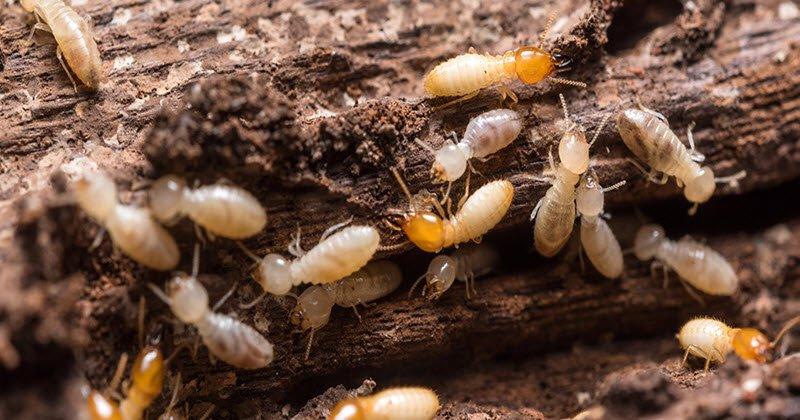 Charmant Drywood Termites
