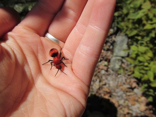 Red Velvet Ant Or Cow Sting How To Treat It
