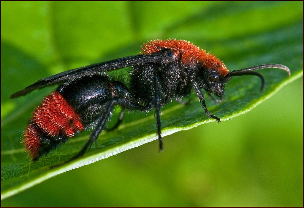 Red Velvet Ant Or Cow Sting How To Treat It Pest Wiki