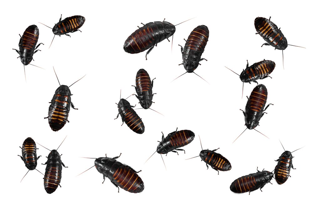 Baby Roaches Pictures 12 Simple Ways To Get Rid Of It For Good Pest Wiki