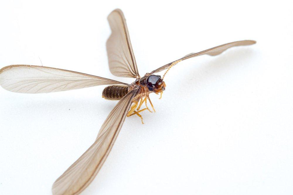 Termites Species