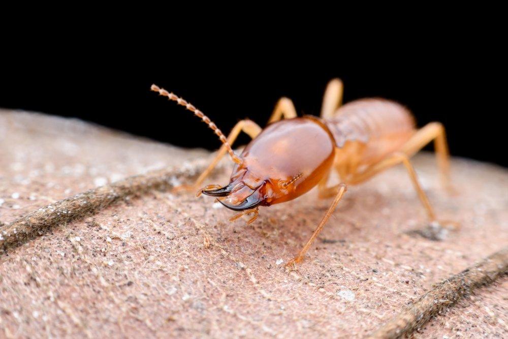 termites workers