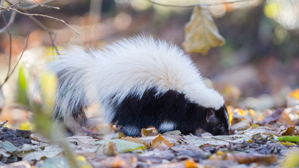 How to Get Skunk Smell off a Dog? - Pest Wiki