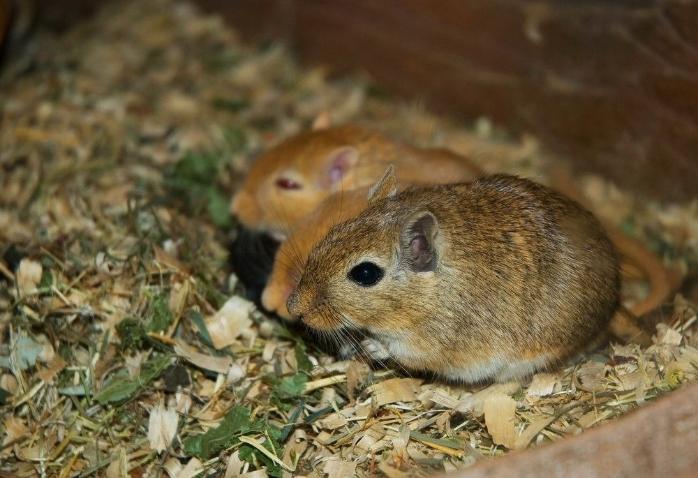 5 Rodent Pets to Choose From (Pros and Cons) - Pest Wiki