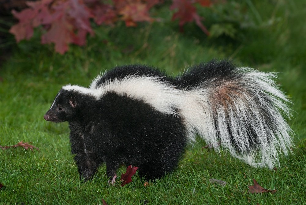 Easy Ways To Get Skunk Smell Out Of The House Pestwiki