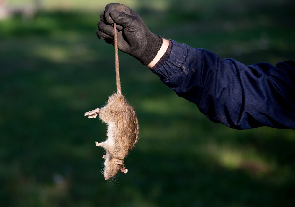 How to Get Rid of Dead Rat Smell (for Good) Fast? - Pest Wiki