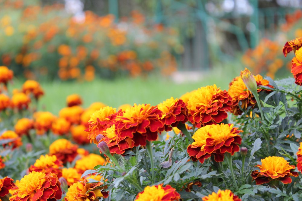 Marigolds Don T Deter Honeybees But A Lot Of Anecdotal Evidence Exists That Repel Wasps Are Effective At Deterring Some Other Pest
