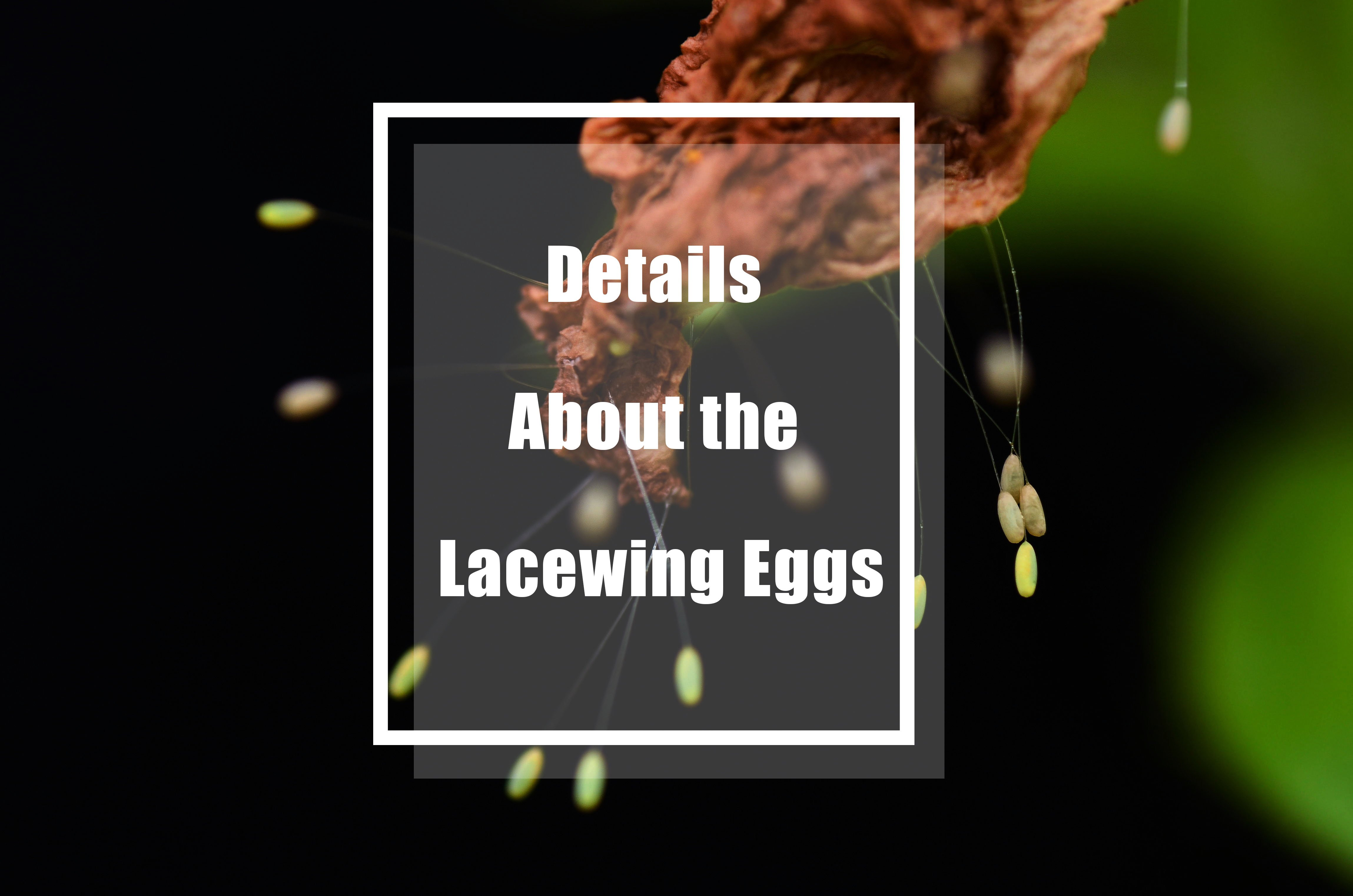 Lacewing eggs