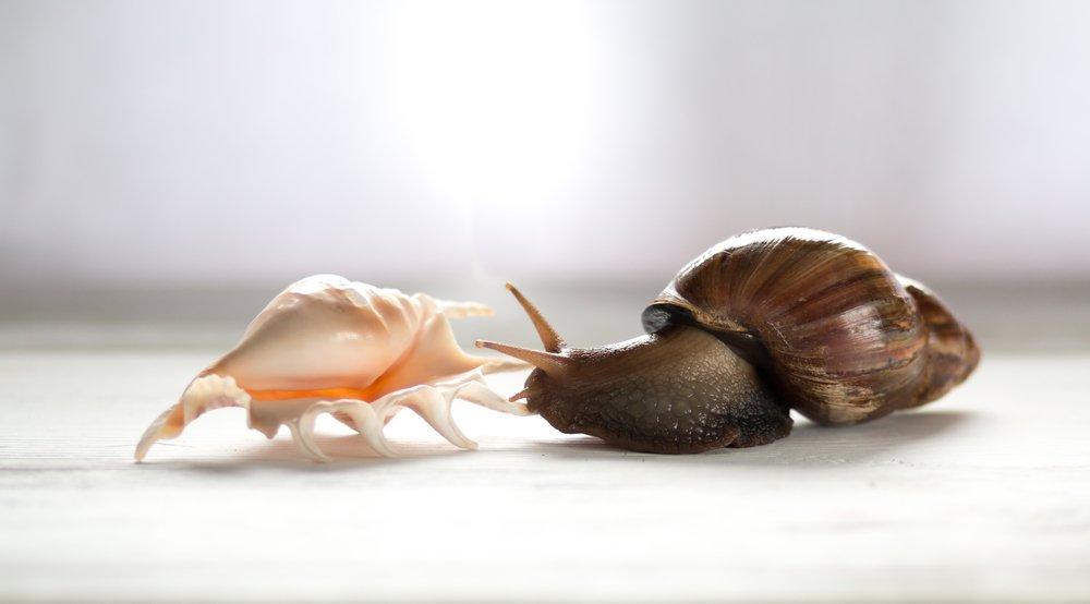 Agate snail